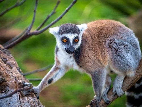 I nationalparken på Madagaskar lever mängder av lemurer.