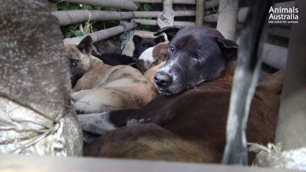 De visar hundar som är instängda i trånga burar och vadar i sin egen avföring innan de hängs eller slås ihjäl med påkar.
