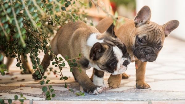 Fransk bulldogg - en hund med mycket charm.