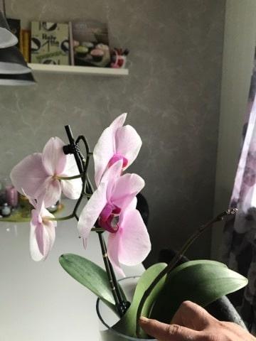 Se så fint Helens orkidé blommar när den fått vatten i stället för jord.