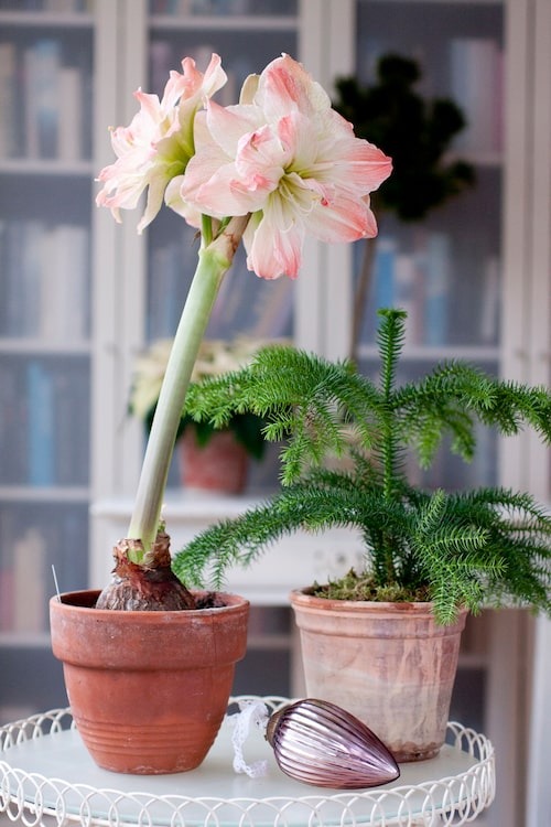 Rumsgranar har blivit en populär julväxt i många hem.