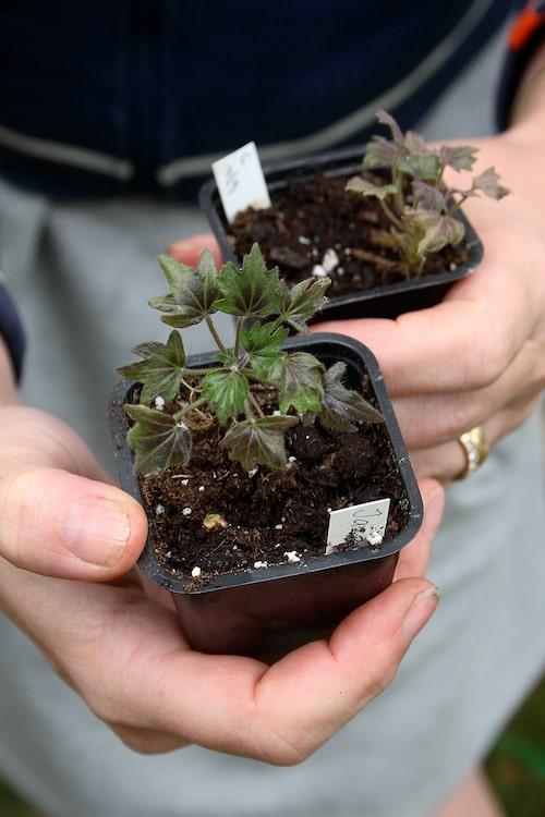 Odlar man miniatyrpelargoner får man plats med många krukor i samlingen.