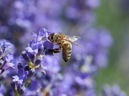 Plantera gärna även blommor och kryddor, i trädgården eller på balkongen, som bina gillar.