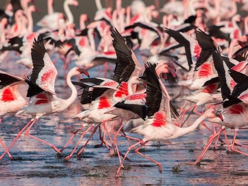 Mindre flamingo.