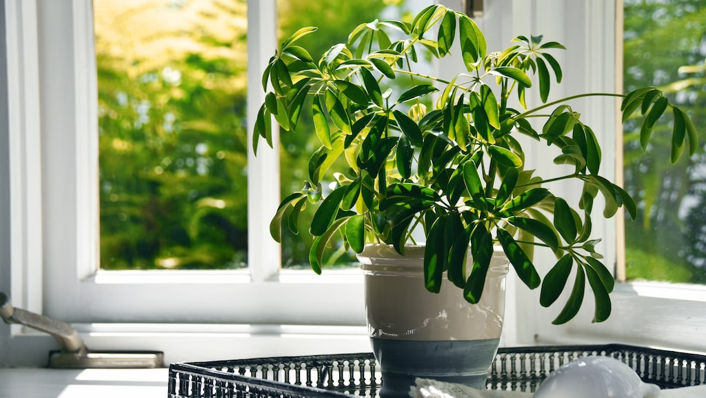 Paraplyaralian, Schefflera arboricola, kommer ursprungligen från Taiwan.