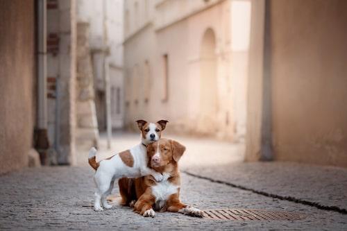 Inte sällan är det tragiskt nog på grund av trafikolyckor som våra lurviga vänner lämnar oss. Speciellt vanligt är det bland drevhundar och de som lever i stadsmiljö.