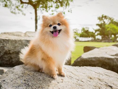 Pomeranian - en hemkär hund fäst vid sin ägare.