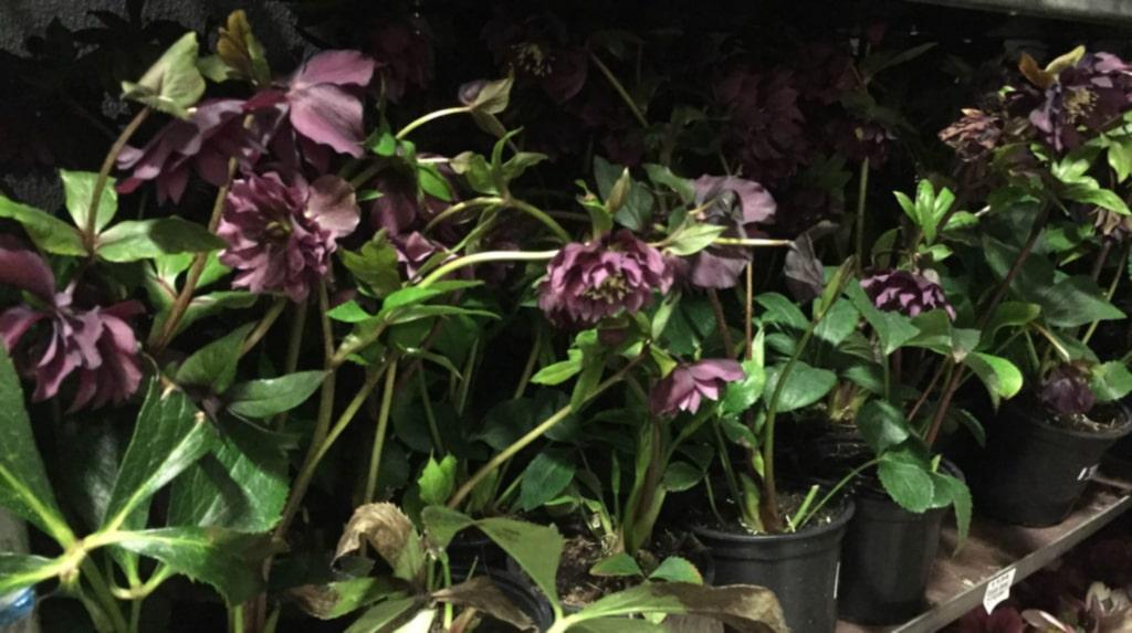 <p>Julrosor mitt i sommaren? Jajamän, mörka och lite dramatiska blommor gäller nu. </p>