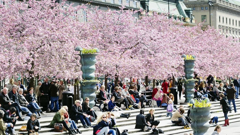 Någon gång i april slår körsbärsträden i Kungsträdgården i Stockholm ut. Så här rosa kommer det snart vara.