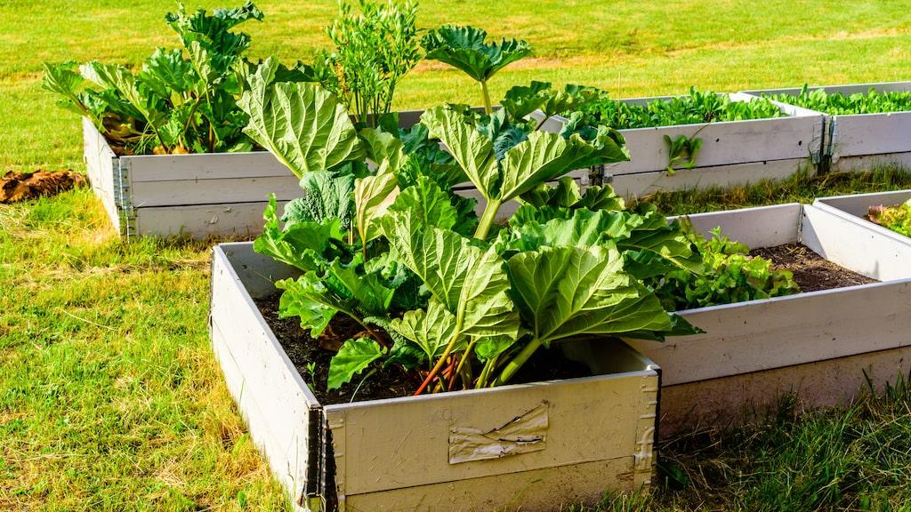 Det går utmärkt att odla rabarber i pallkrage.