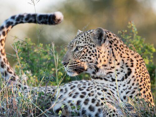 En leopard i Djuma Private Game Reserve i Sydafrika.