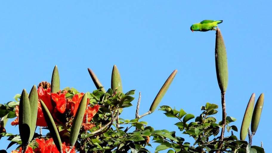 En papegoja i nationalparken Periyar.