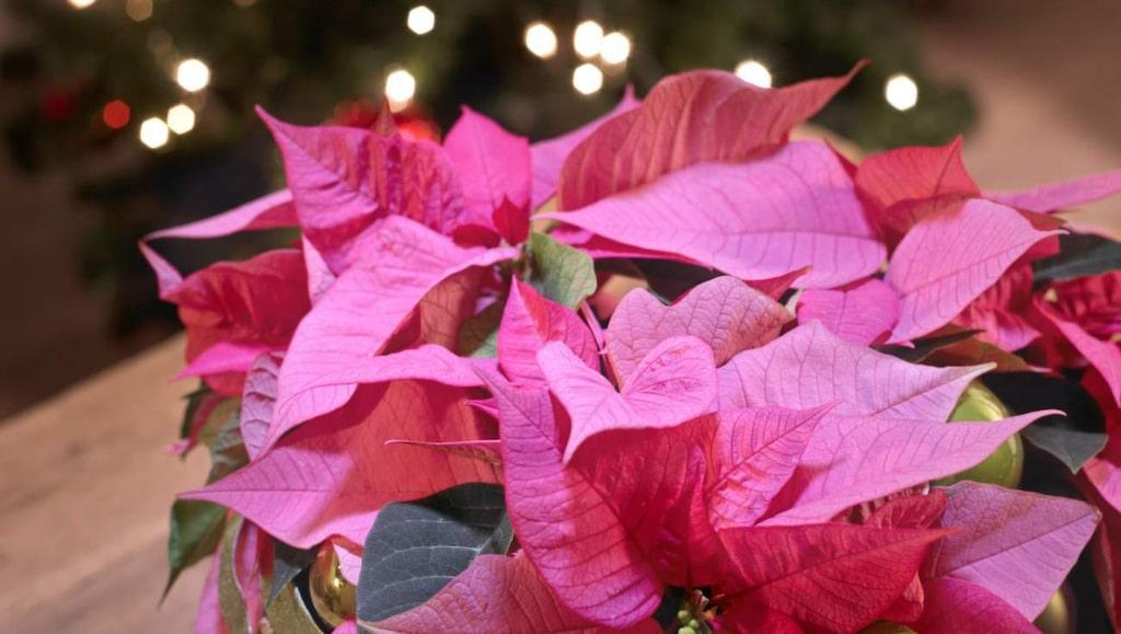 Använd gärna lite växtnäring till blomman – då håller sig färgen bättre.