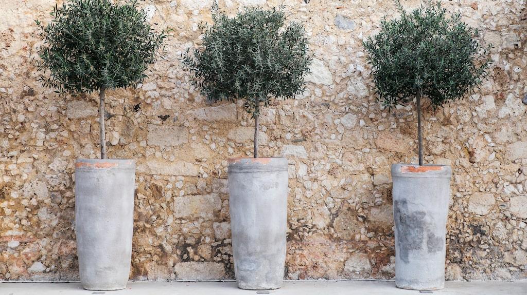 Olivträdet från Medelhavet är sedan några år en riktig storsäljare i Sverige – fast då som liten krukvariant.