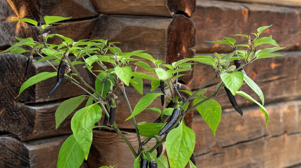 Hela plantan av chilipepparn 'Black Fangs' är mycket dekorativ och blir cirka 50 cm hög.