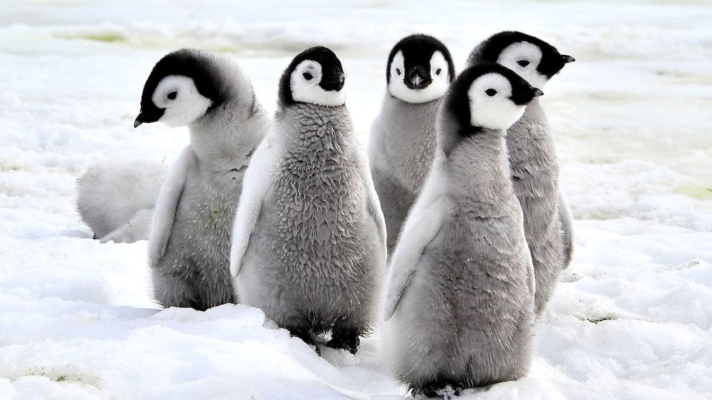 Pingvinsafari på Antarktis en annan.