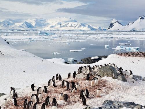 På Antarktis vid Sydpolen kan du kanske få dig en glimt av pingvinerna.