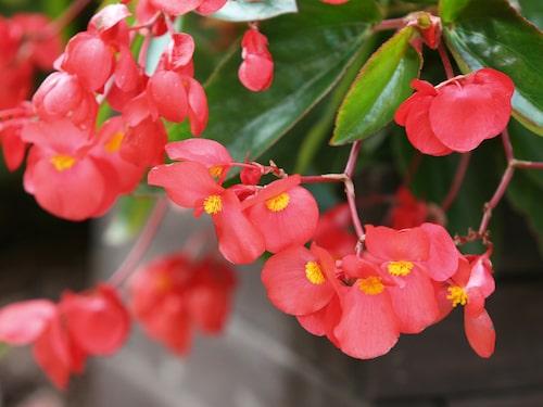 """Den här begonian heter """"Dragon wing begonia"""" (begonia x hybrida) och är en sorts hängbegonia."""
