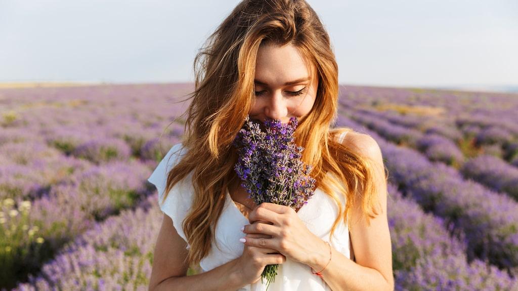 Lavendeln är en populär blomma som förgyller många trädgårdar och balkonger. Utöver det har växten dessutom flera både hälsofördelaktiga och praktiska egenskaper