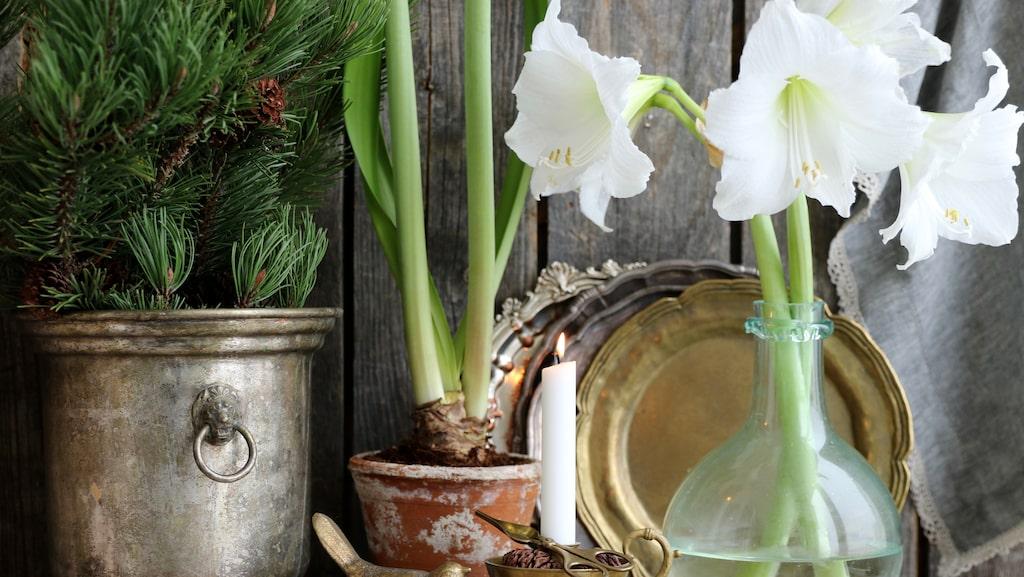 Amaryllis är både vackert och dekorativt. Dock kan den tröttna ganska snabbt och böja sig. Då finns ett hemligt trick!