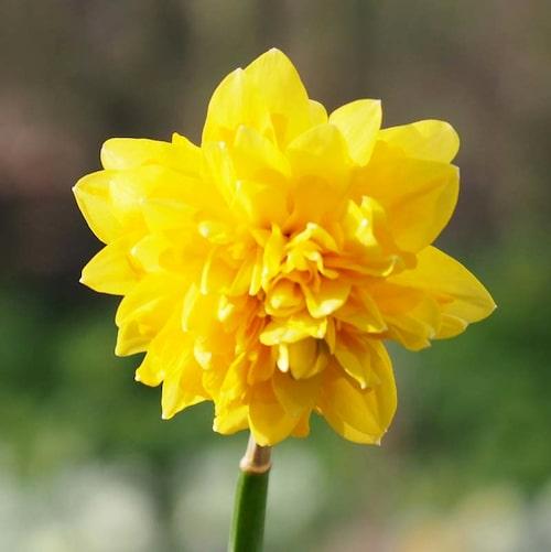 Påsktazett Narcissus Tête Rosette.