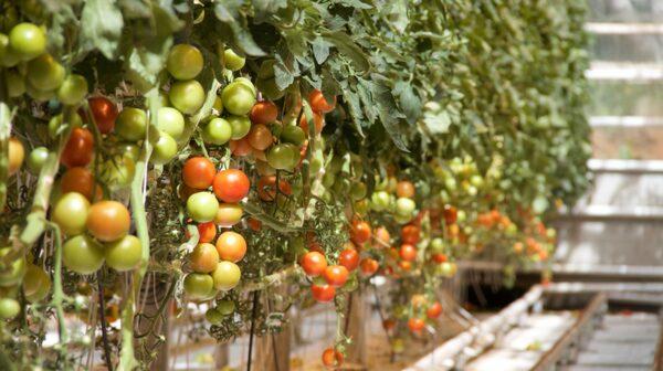 Njut av en kulinarisk upplevelse på en isländsk tomatfarm.