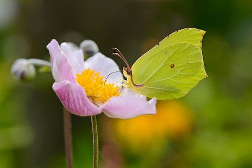 Citronfjäril (Gonepteryx rhamni).