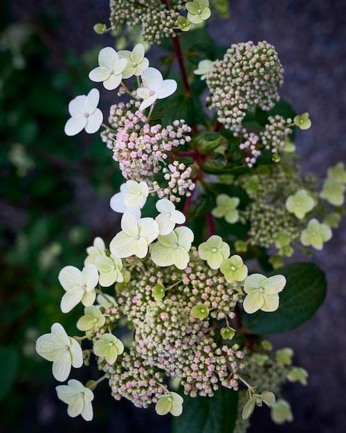 Syrenhortensian är en tålig blommande buske med kraftiga grenar. Den är en av de få blommande växterna i Kents och Isabelles trädgård.