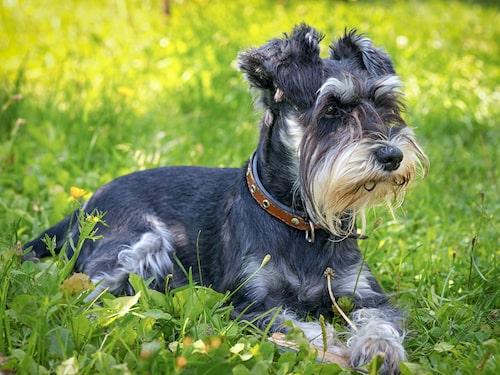Dvärgschnauzer - en hund som kräver pälsvård.