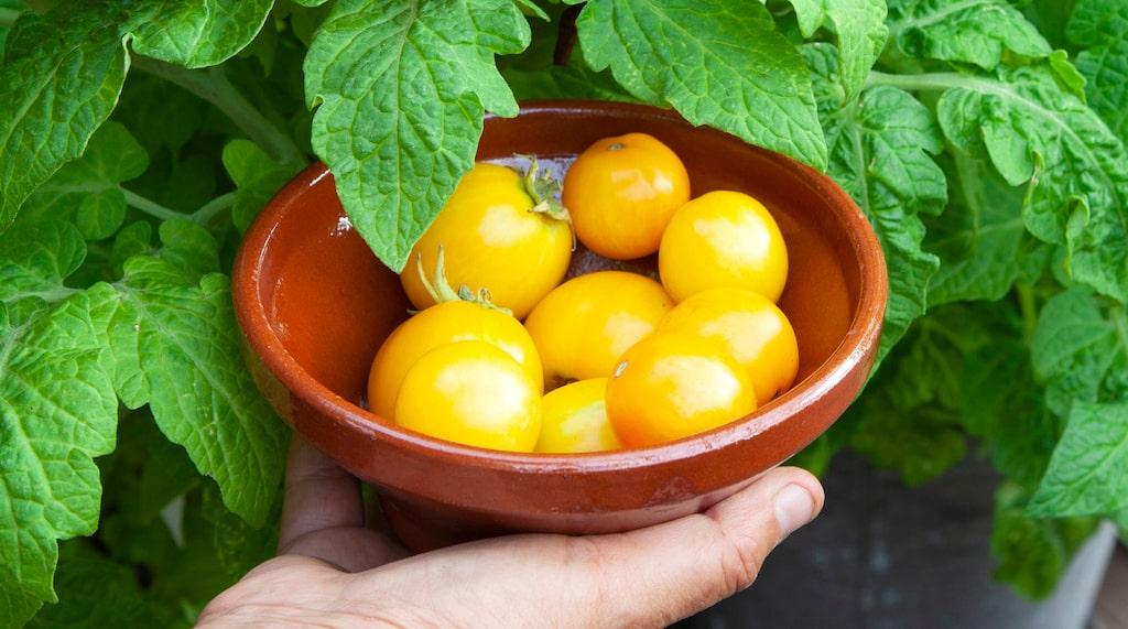 En gul variant av 'Tigerette Cherry'. Uppstod först som en gul mutation hos tomatkungen Åke Truedsson på 1980-talet. Perfekt att odla i kruka.