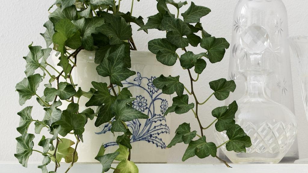 På hyllan över bordet står ett stilleben av gamla glasflaskor och en murgröna planterad i ett gammalt krus från Gustavsberg.