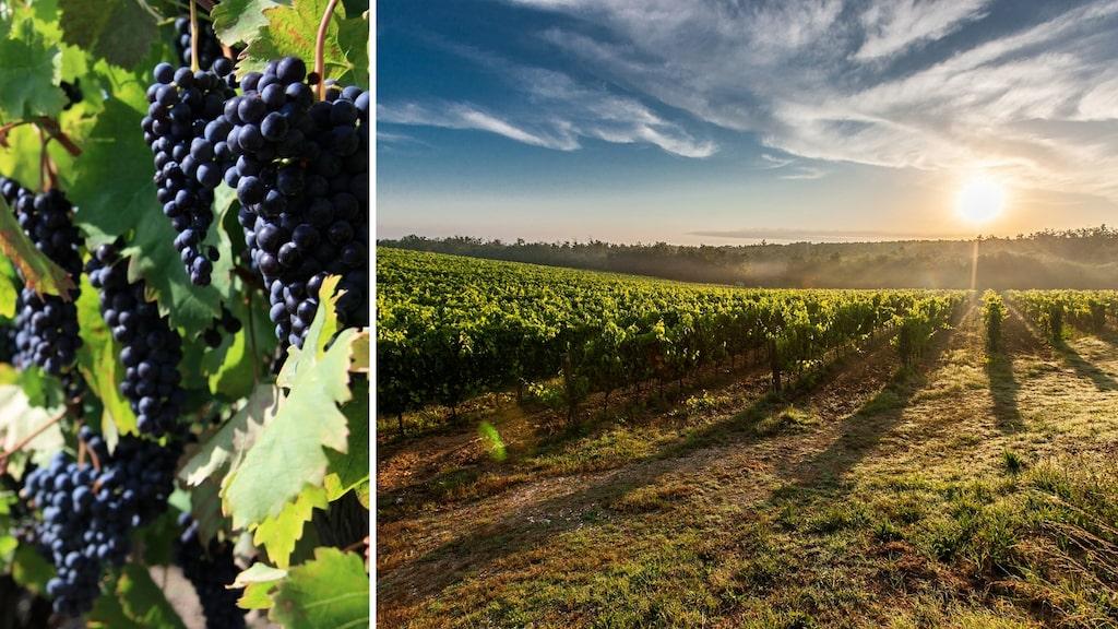En zinfandel från USA eller en Primitivo från Italien? De två populära druvorna växer i olika världsdelar men delar faktiskt samma DNA.