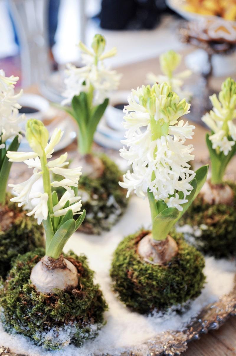 Mitt på bordet står ett antikt silverfat, täckt med konstsnö och de fina hyacintbakelserna. Ett pyssel Håkan kommit på och som med några få saker kan skapas av oss alla. Oasis är stommen som sedan klätts in med mossa och skapar ett vackert och väldoftande arrangemang.