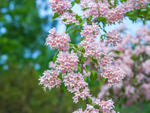 Paradisbusken är en tålig växt som är härdig upp till zon 4 och ibland 5, något som gör den både lättodlad och lättskött.