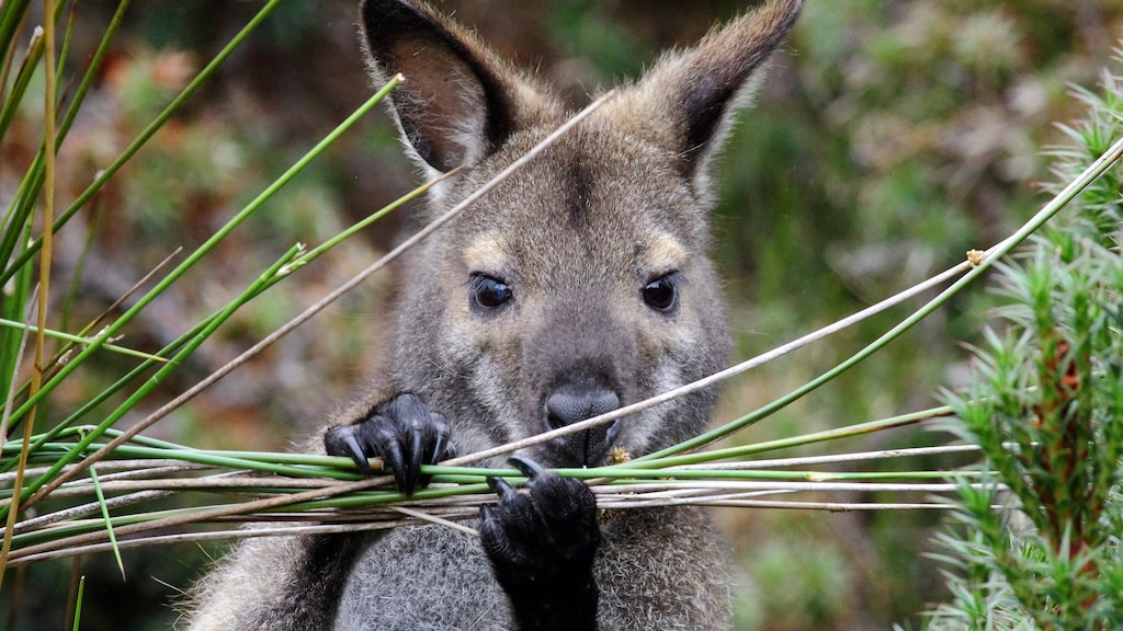 Ett intressant djur som på senare tid kommit att bli en allt vanligare familjemedlem är minikängurun vallaby.