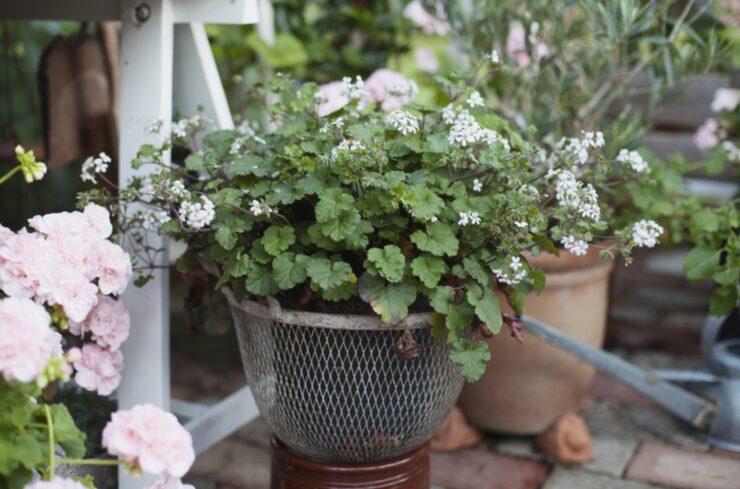 Vild sort. Den nätta vildpelargonen 'Australia' har små vita blommor och oansenligt växtsätt.