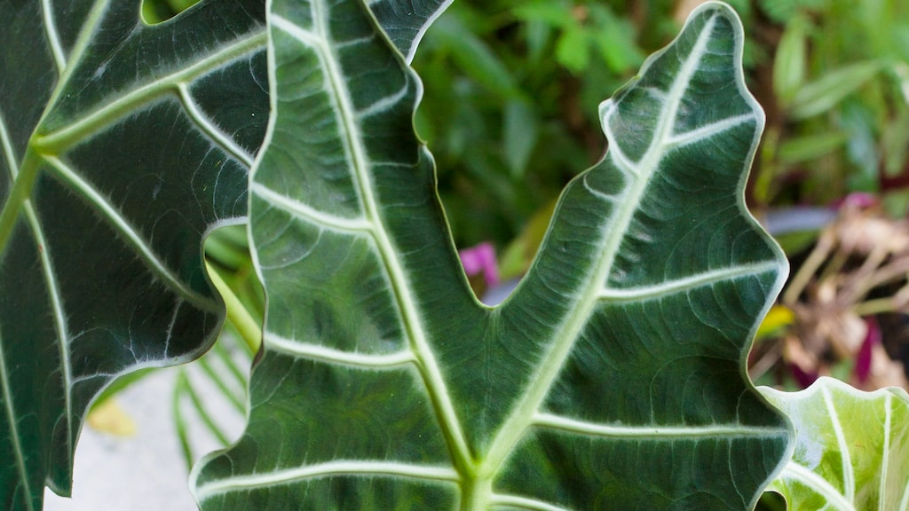 Amazonsköld är en spektakulär växt med sina speciella blad.