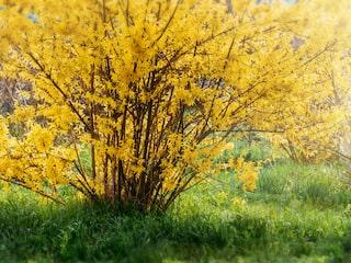 gul blommande buske