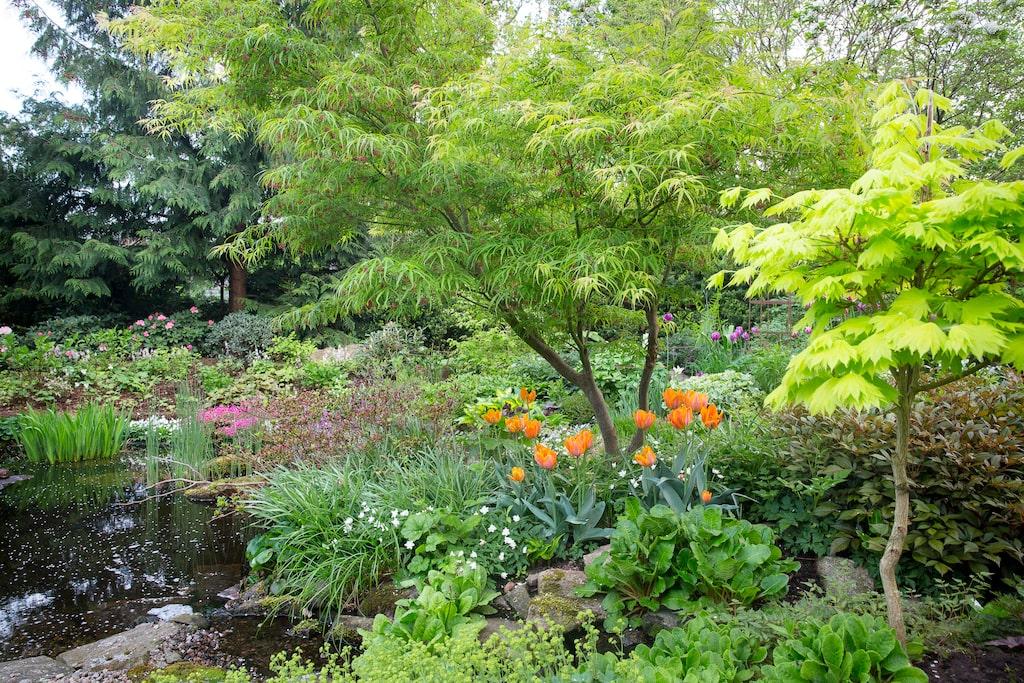 Eva gillar att matcha tulpaner med andra växter i trädgården. Här har sorten 'Princesse Irene' fått bli kompis med japansk lönn, 'Linearilobum'.