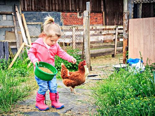 Det finns många hönsraser så välj en som passar dig, din familj och området där ni bor.