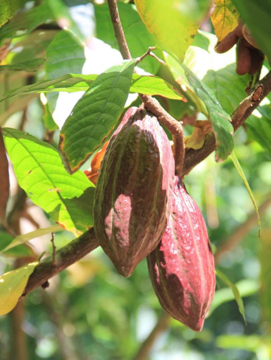 På Duane Doves Tobago Cocoa Estate gör man riktig nördchoklad.