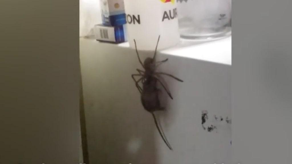 Tycker du att det är jobbigt med spindlar hemma? Kolla hur det är i Australien. I klippet nedan kan du se hur spindeln bär runt på råttan.