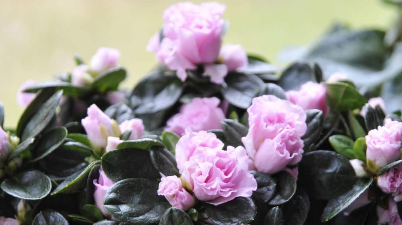 Azalea är en klassisk blomma som kan vara lite svår att sköta om. Men det finns knep som gör att du kan få riktigt fina blommor.