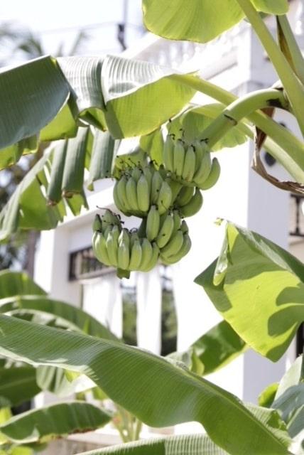 På området finns bananplantor, mangoträd, limeträd och bambu – som Susanna Zacke gjort gardinstänger av.