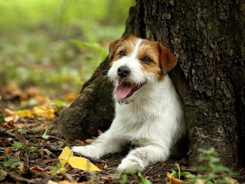 Jack Russell terrier - en glad och rolig hund.