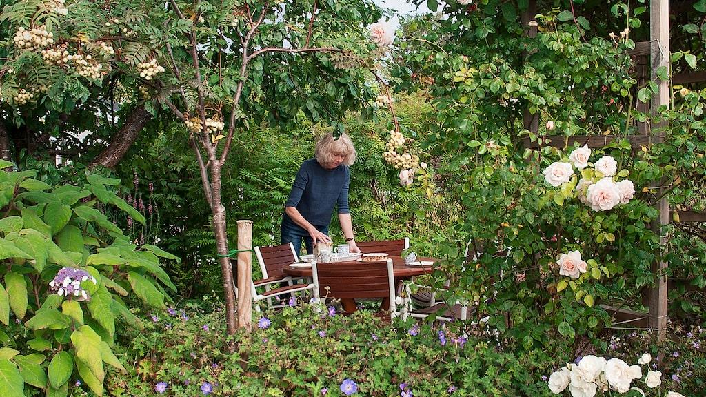 Under plommonträdet i Ulrikas koloniträdgård har Ulrika gjort en sittplats. Runt utemöblerna växer bland annat rabattrosor och sammetshortensia. Trädet ger en behaglig skugga.