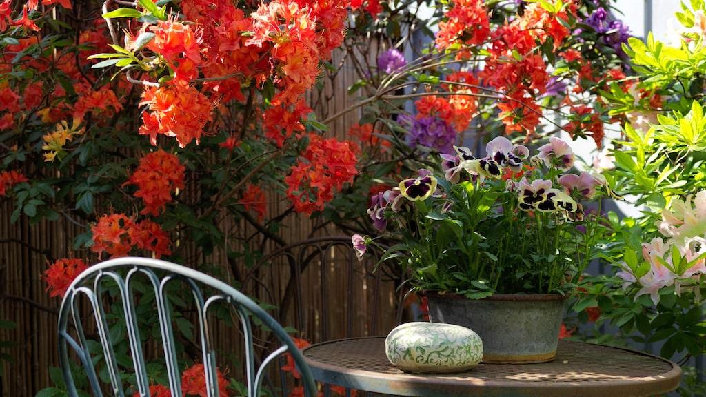 Både Sören och Anette har ett stort trädgårdsintresse. Här slingrar sig en färgstark azalea kring stolen.