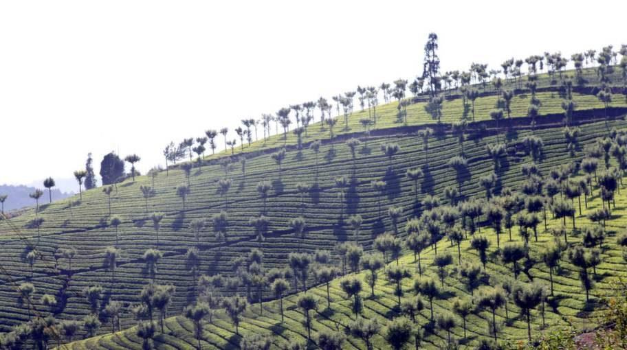 Tågresan går genom ett landskap med teplantager.