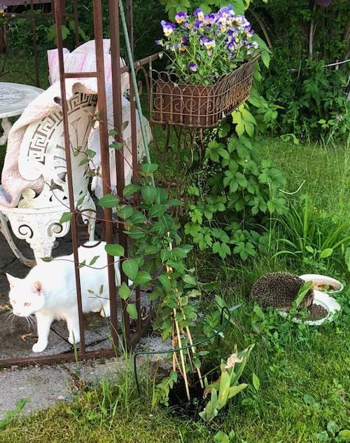 Katten Plopp bryr sig inte om besökarna. Han har till och med nospussats med en av igelkottarna.