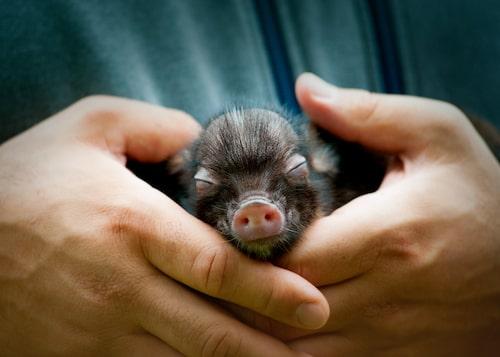 Der tar ett tag innan grisen vänjer sig vid sin nya flock – dig och din familj.
